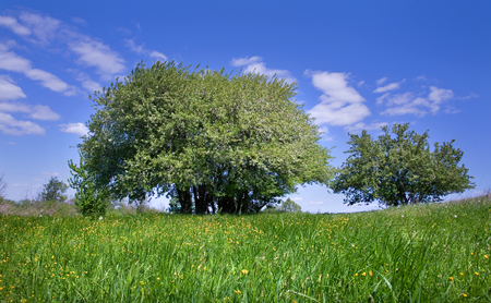spring landscape blooming apple tree on a green meadow with yellow dandelions on a background of blue sky with white clouds on a sunny day Stock Photo - 25937043
