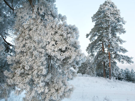Winter landscape outskirts of the beautiful pine forest covered with frost and snow on a cloudy day photo