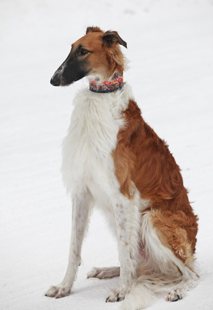 close-up portrait of graceful greyhound red-white color on a background of snow and trees in the pine forest frosty morning photo