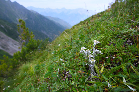macro edelweiss growing in the mountains on the rocks on a summer day photo