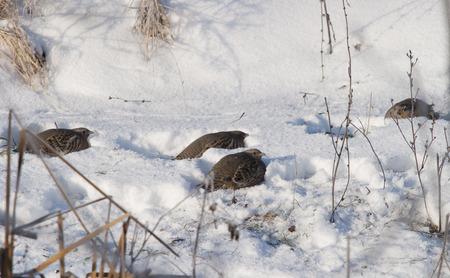 kuropatwa: close-up partridge in winter on snow