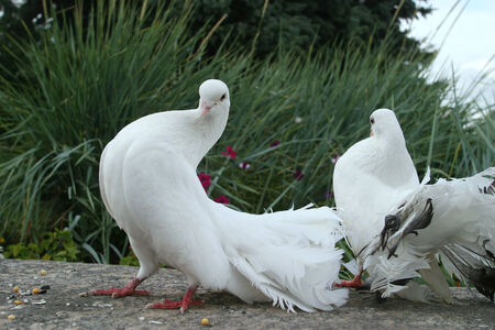 close-up of white doves with beautiful fluffy tails on the track in the park on a summer day