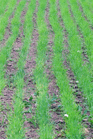 close-up of young shoots of wheat in a field sown in rows photo