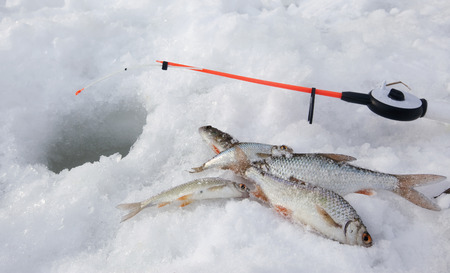 jigging: close-up freshly caught fish and a fishing rod near the hole on the frozen snow-covered river cloudy day