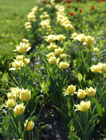 macro yellow tulips in a flower bed in city park in the spring photo