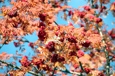 sorbus: close-up of ripe rowan branch on a background of the autumn sky on a sunny day