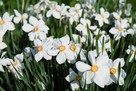 close-up of beautiful white daffodils on the background of green grass in sunlight photo