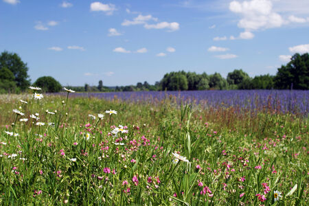 beautiful summer landscape of flowering meadows, bright blue sky, white clouds and groves on the horizon on a sunny day photo