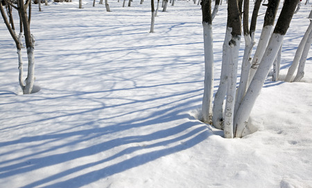 winter landscape trees in the park and beautiful shadows on the snow a bright sunny day photo