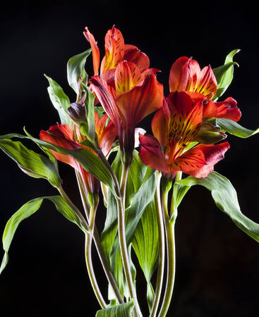macro beautiful red Alstroemeria on black background studio photo