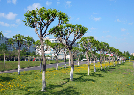 trimmed: Spring cityscape neatly trimmed trees along the avenue city on a sunny day Editorial