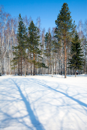 thawed: winter landscape trees in the park and beautiful shadows on the snow a bright sunny day