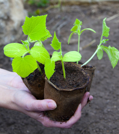 macro small green shoots of cucumber in peat pots in the hands of a spring garden photo