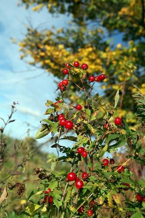 Makro helle reife rote Hagebutten Beeren auf einem Zweig auf einem Hintergrund der gelben Blätter im Frühherbst