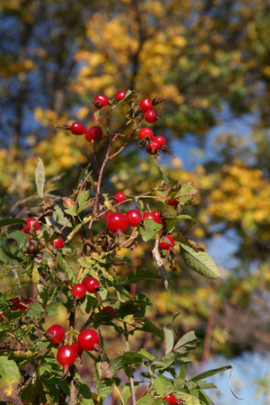 macro bright ripe red rosehip berries on a branch on a background of yellow foliage in the early autumn photo