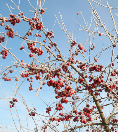 close-up rowan berries in the frost on a branch against the blue sky in winter photo