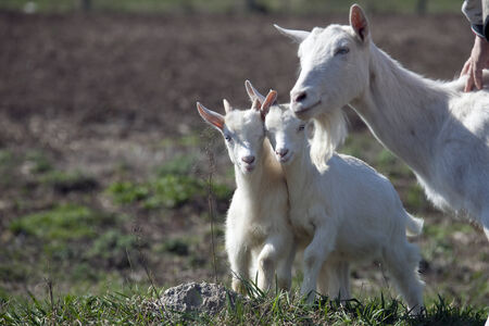 village house: close-up white goat with kids in the yard village house sunny spring day