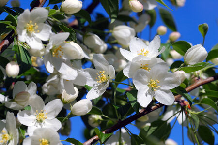 close-up of blooming apple tree branch against the blue sky spring day photo