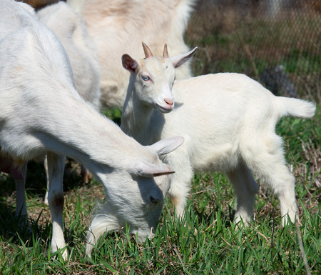 close-up white goat with kids in the yard village house sunny spring day photo
