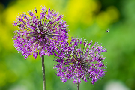 close-up blooming ornamental onions on a background of green grass in the spring garden photo