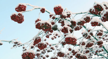winter landscape of red ash on the branches in the frost on a cold day photo
