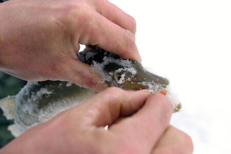 close-up freshly caught pike in the hands of the fisherman on the snow background photo