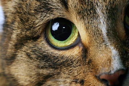 close-up portret van volwassen Cyperse kat met expressieve groene ogen studio