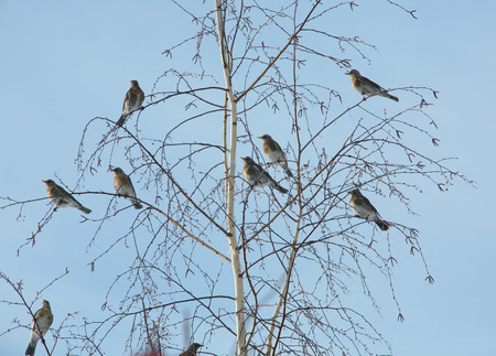 isolated flock of jays on rowan branches on a background of blue sky winter day photo