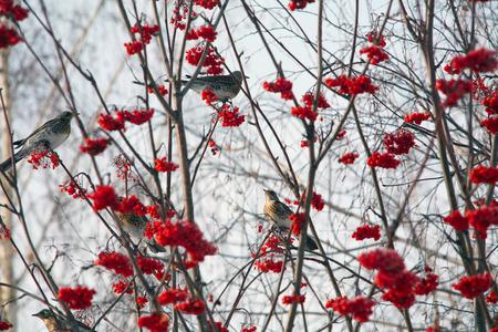 green jay: aislado bandada de urracas en las ramas de serbal sobre un fondo de cielo azul de invierno
