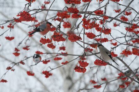 close-up bullfinches on branches of maple and rowan winter February day photo