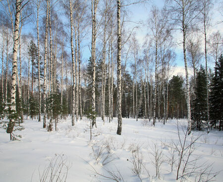 winter landscape of mixed forest of birch and pine trees in the snow frosty day photo