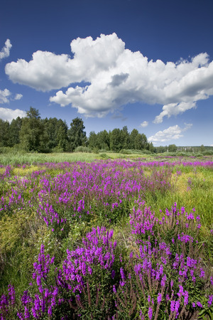 beautiful summer landscape marvelous purple wild flowers and bright blue sky with white clouds on a sunny day Foto de archivo