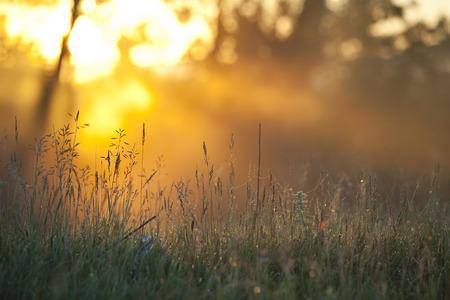 Sommerlandschaft nebligen Morgen in einem Eichenhain, in der Morgendämmerung