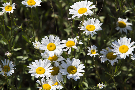 isolated close-up of white daisy field on a background of green grass in summer photo