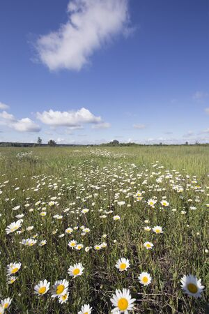summer landscape chamomile field and white clouds on blue sky on a sunny day photo