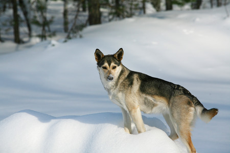 snowbank: close-up portrait of an adult dog on a snowy snowbank in winter day  Stock Photo