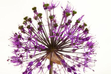 macro purple decorative onions studio shot on white background photo