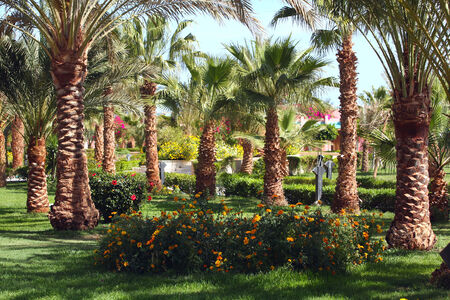 close-up of flowering palms egypt sunny spring day photo