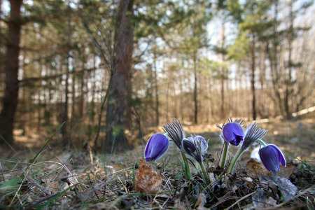 macro several pasque flower in the woods on a spring morning photo