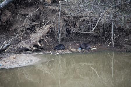 riverside trees: landscape trees riverside beavers bitten sunny day early spring