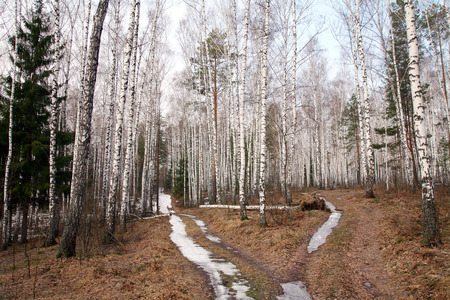 landscape dirt road with snow in a birch forest in the early spring photo
