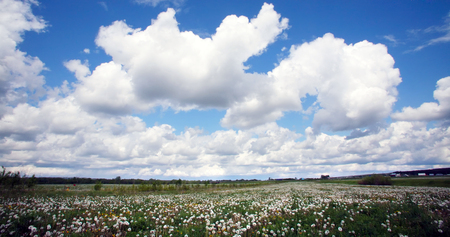 grass verge: summer landscape meadow of dandelions and white fluffy clouds in the blue sky on a sunny day