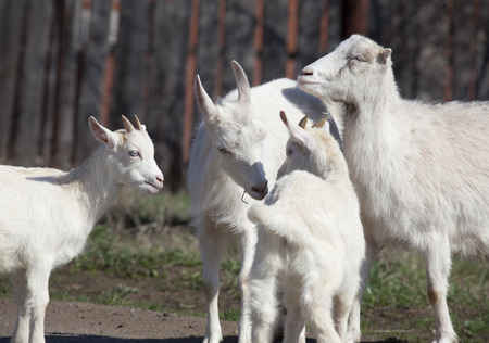 yeanling: close-up white goat with kids in the yard village house sunny spring day
