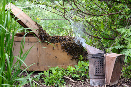 clinging: A swarm of honey bees clinging a tree spring in the garden