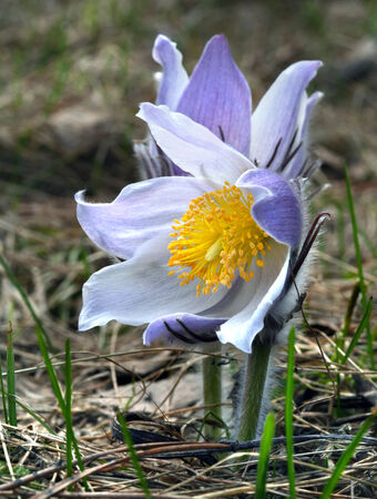 macro beautiful delicate purple flowers snowdrop in spring forest photo