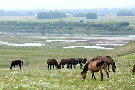 beautiful summer landscape herd of horses in a pasture on a cloudy day photo