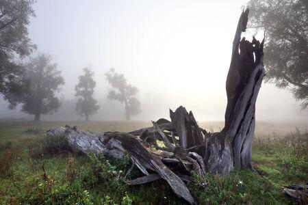 autumn landscape dead wood in an oak grove foggy morning photo