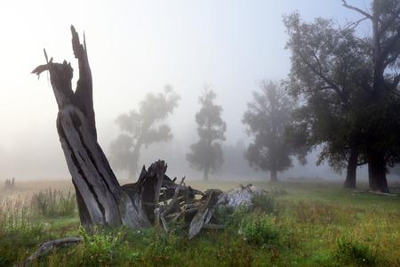 herfstlandschap dood hout in een eikenbos mistige ochtend Stockfoto