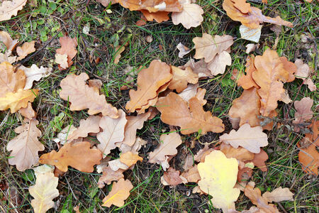 close-up of fallen oak leaves yellowed autumn day in the woods photo