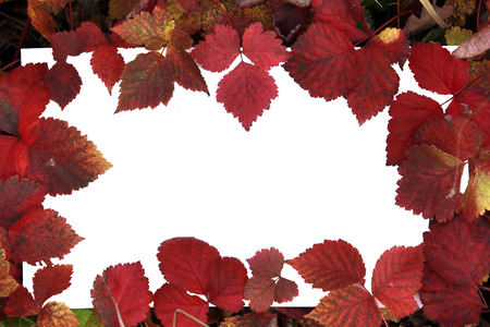 macro beautiful multi-colored autumn leaves on a white background photo